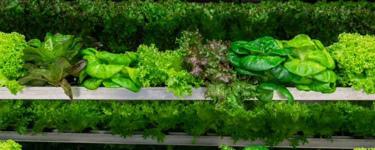 Get local greens all year long with Swiss Leaf Farms in Alberta, Canada